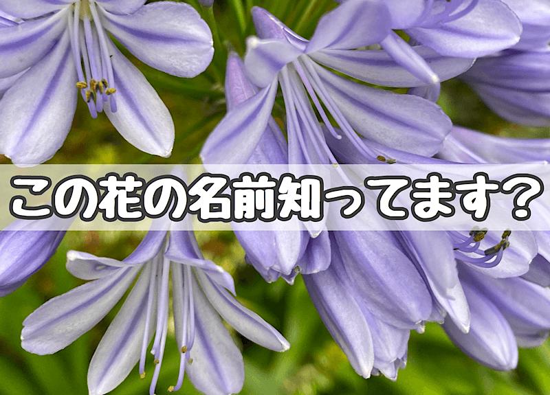 紫君子蘭(アガパンサス)のアイキャッチ