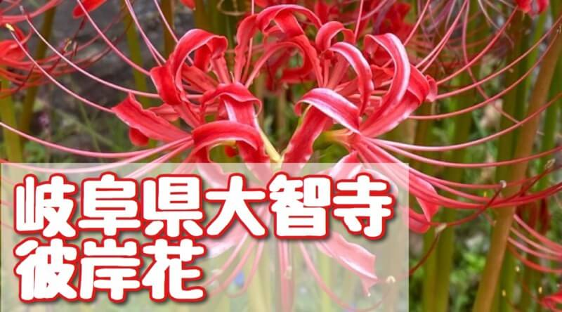 岐阜県大智寺の彼岸花のアイキャッチ